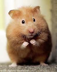 hamsters hamster